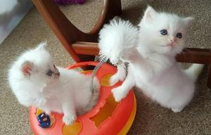 Gorgeous Pure Ragdoll Kittens Left to leave FOR SALE ADOPTION
