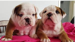 Pedigree English bulldogs FOR SALE ADOPTION