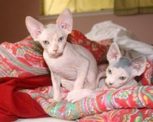 Spyhnx Kittens For Adoption FOR SALE ADOPTION