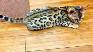 Active Bengal Kittens For Adoption Ready For Good Home FOR SALE ADOPTION