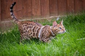 Friendly Bengal Kittens For Adoption Ready For Good Home FOR SALE ADOPTION