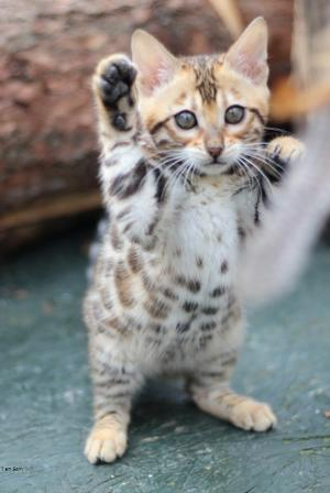 Great Bengal Kittens For Adoption Ready For Good Home FOR SALE ADOPTION