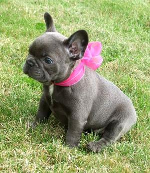Incredible French Bull Dog Puppies 4 Adoption Ready For Good Home FOR SALE ADOPTION