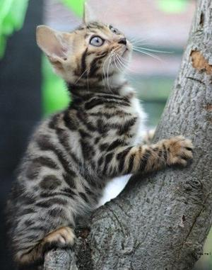 Lovely Bengal Kittens For Adoption Ready For Good Home FOR SALE ADOPTION