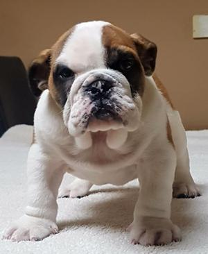 CUTE ENGLISH BULL DOG PUPPY READY NOW FOR SALE FOR SALE ADOPTION
