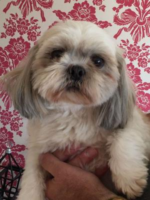 CUTE SHIH TZU PUPPY READY NOW FOR SALE FOR SALE ADOPTION
