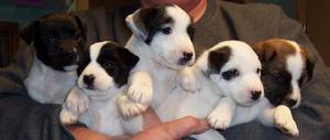 Male and Female Jack Russell Puppies FOR SALE ADOPTION