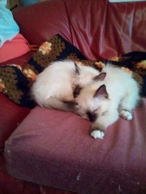 Birman kittens FOR SALE ADOPTION