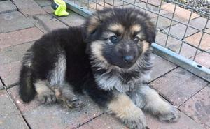 Cute German Shepherd Puppies FOR SALE ADOPTION