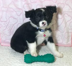Miniature Australian Shepherd puppies FOR SALE ADOPTION