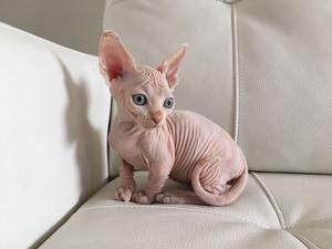 Sphynx kittens for adoption FOR SALE ADOPTION