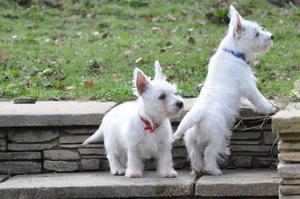West Highland Terrier FOR SALE ADOPTION