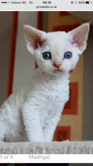 Wonderful Pure breed Devon Rex kittens FOR SALE ADOPTION