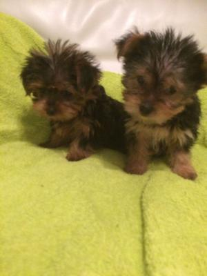Yorkshire Terrier Puppies Now Ready FOR SALE ADOPTION