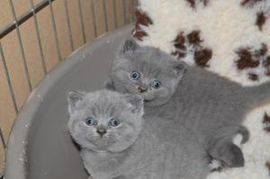 Delightful Blue British Shorthair Kittens Ready Now FOR SALE ADOPTION