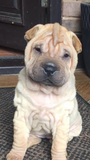 Our Beautiful Shar Pei Puppies FOR SALE ADOPTION