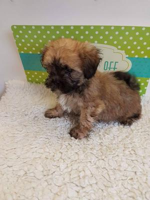 Shihpoo Puppies FOR SALE ADOPTION