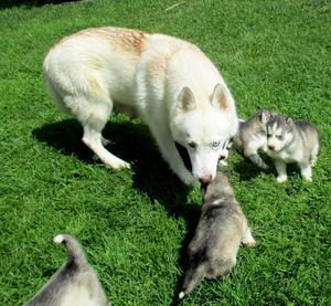 Siberian Husky Puppies For Sale FOR SALE ADOPTION