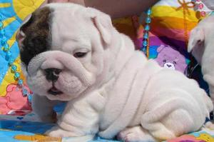 Two gorgeous English Bulldog puppies for sale b FOR SALE ADOPTION