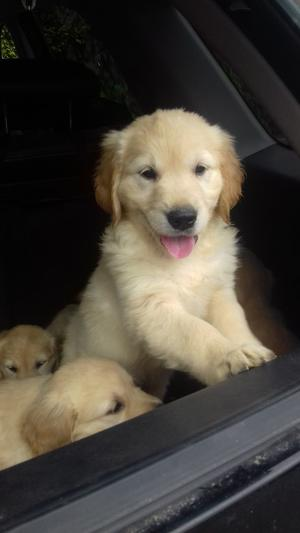 Golden Retriever Pups FOR SALE ADOPTION