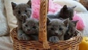Russian Blue Kittens for good home FOR SALE ADOPTION