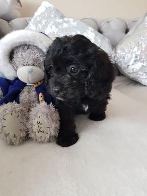Stunning Toy Cavapoo Teddy Bear Puppies FOR SALE ADOPTION