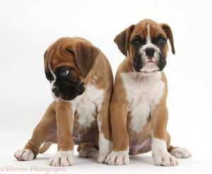 12 weeks old male and female Boxer Puppies FOR SALE ADOPTION
