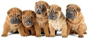 AKC Registered Shar Pei Puppy FOR SALE ADOPTION