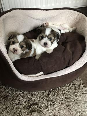Beautiful Coton De Tulear X Shih Tzu FOR SALE ADOPTION