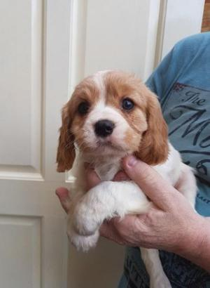 Cavalier King Charles Spaniel Puppies Ready Now FOR SALE ADOPTION