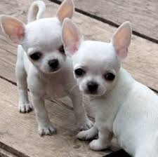 Chihuahua Puppy FOR SALE ADOPTION