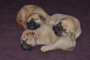 Chunky BullMastiff Puppy for sale now FOR SALE ADOPTION