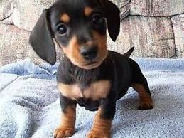 Dachshund Puppy for a new home FOR SALE ADOPTION
