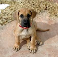 Great Dane Puppy FOR SALE ADOPTION