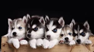 Home raised male and female Husky Pups FOR SALE ADOPTION