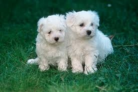 Maltese Puppy FOR SALE ADOPTION