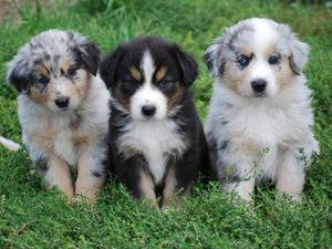 Merle Australian Shepard Pups FOR SALE ADOPTION