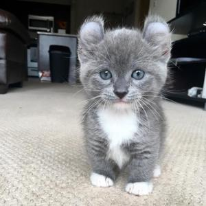 Munchkin Kittens for sale FOR SALE ADOPTION