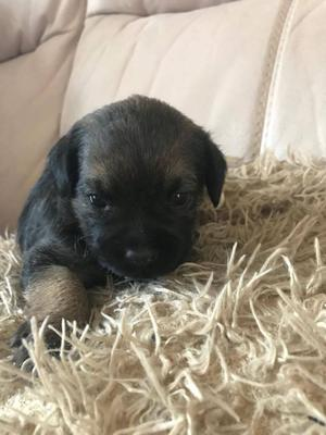 Border Terrier Pups For Sale FOR SALE ADOPTION