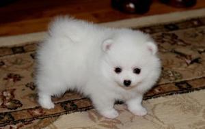 Friendly Pomeranian puppies FOR SALE ADOPTION