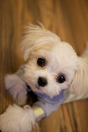 MICRO TEACUP Sugar Maltese Puppies FOR SALE ADOPTION