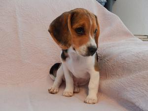 Cutest beagle puppies for sale adoption | Posot Class