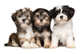 male and female havanese pups FOR SALE ADOPTION