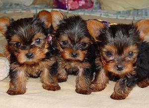 vet checked yorkshire terrier pups FOR SALE ADOPTION