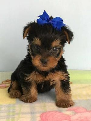 Absolutely Healthy Yorkie Puppy FOR SALE ADOPTION