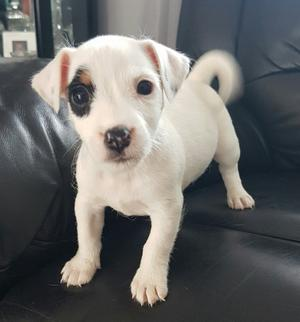 Black White Jack Russel Male and female FOR SALE ADOPTION