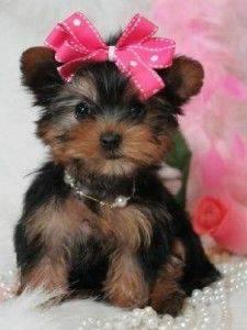 Gorgeous Tiny Yorkie Puppies For Adoption FOR SALE ADOPTION