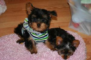Yorkie puppies FOR SALE ADOPTION