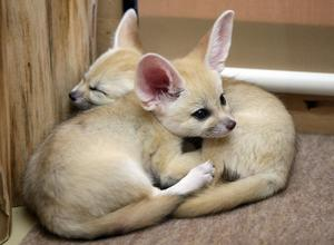 Young 16wks Fennec Fox Babies Contact  FOR SALE ADOPTION