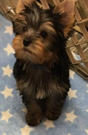 sweet Healthy Yorkie Puppy FOR SALE ADOPTION